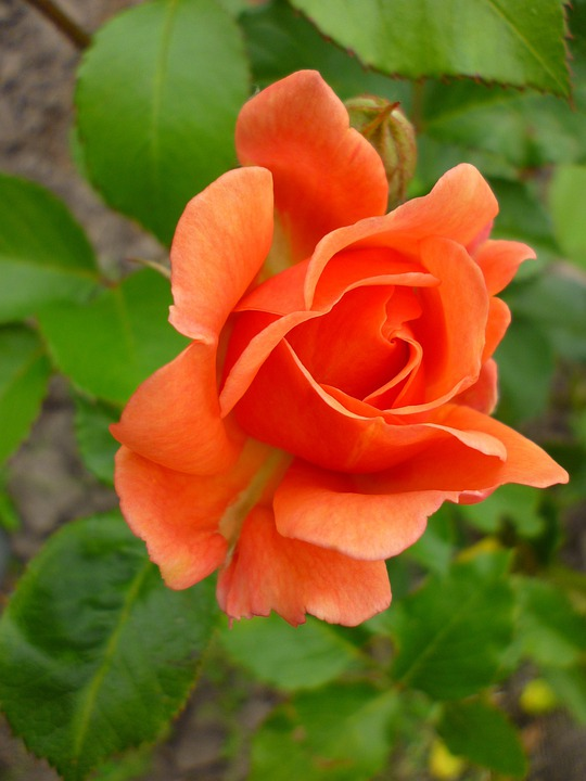 Rose, Orange, Green, Nature, Summer Flower