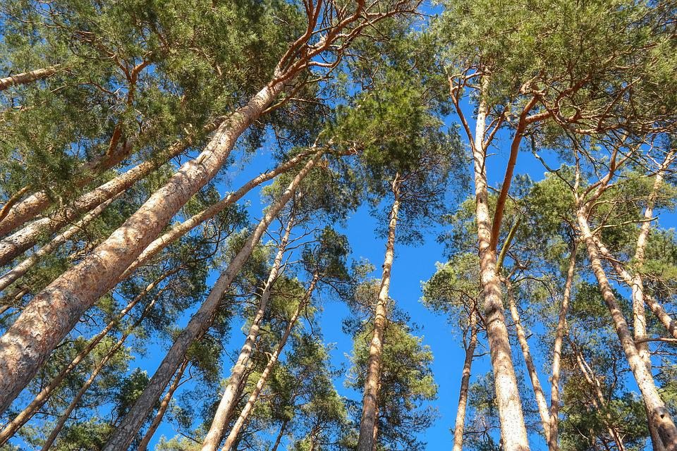 Trees, Pine, Log, Conifer, Forest, Nature, Green