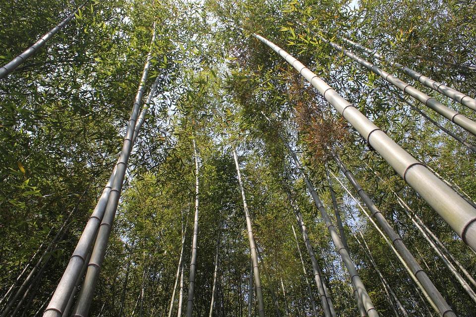 Bamboo, Vs Grove, Nature, Plants, Green