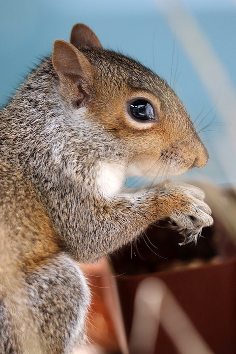 Squirrel, Grey Squirrel, Rodent, Cute, Animal, Nature