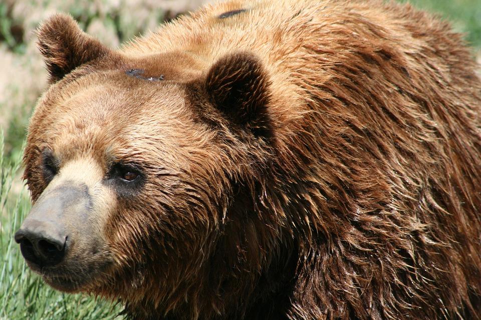 Mammal, Wildlife, Animal, Nature, Fur, Grizzly