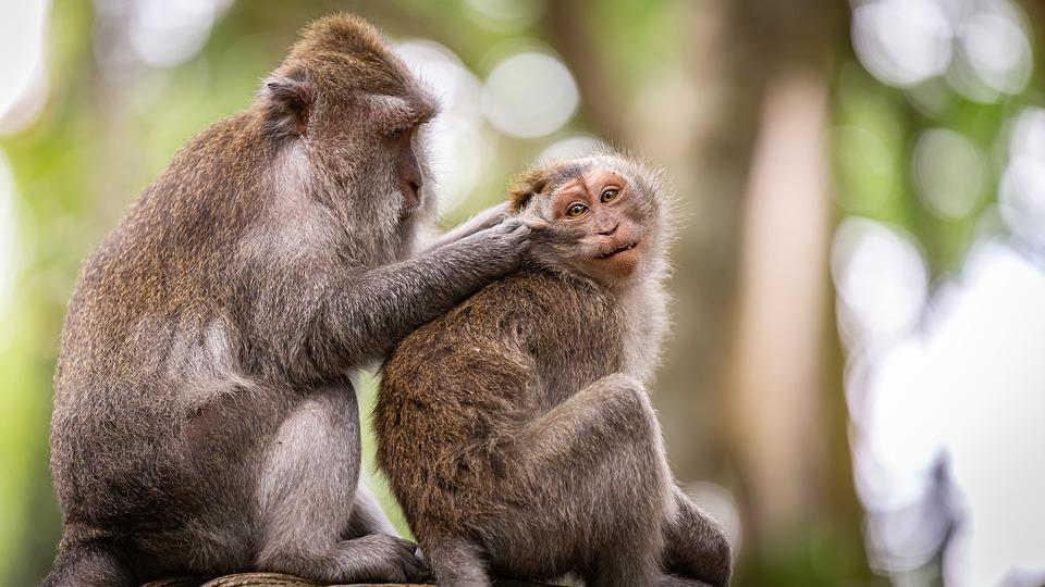 Monkeys, Cleaning, Indonesia, Forest, Grooming, Nature