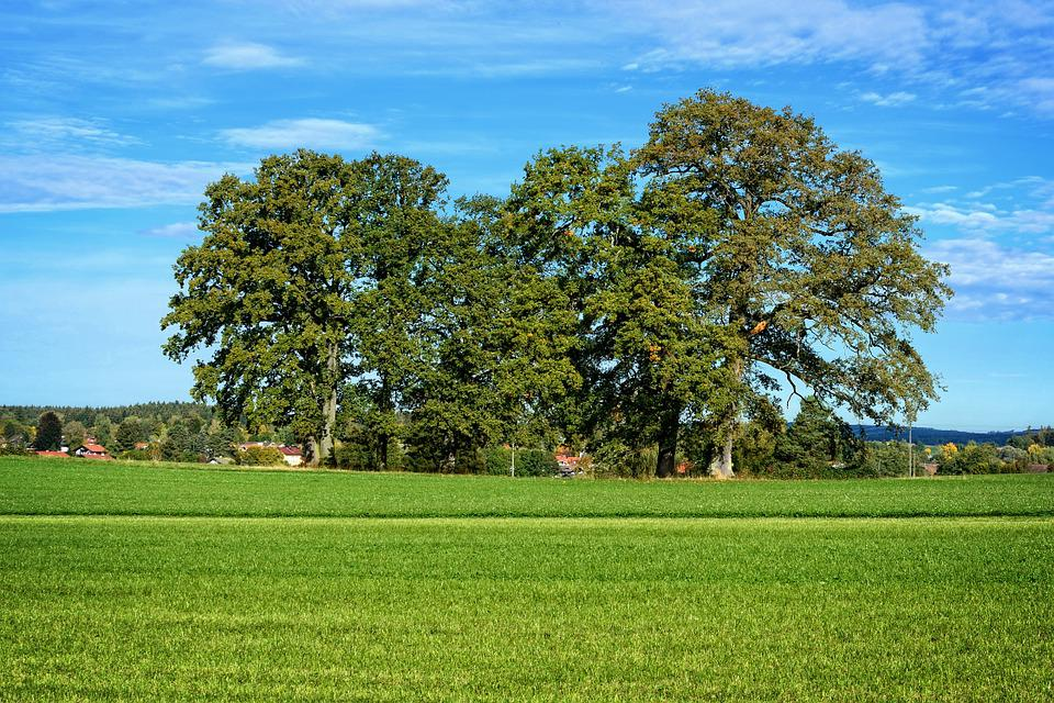 Grove Of Trees, Trees, Group, Meadow, Nature, Horizon