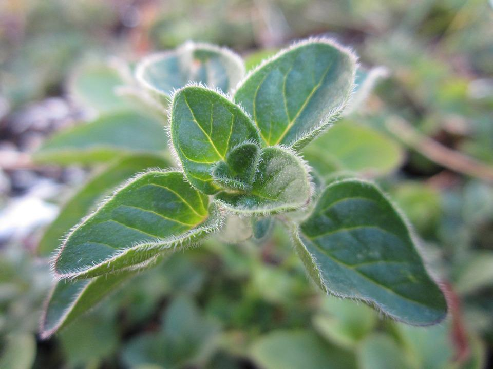 Oregano, Herb, Plant, Green, Growing, Leaves, Nature