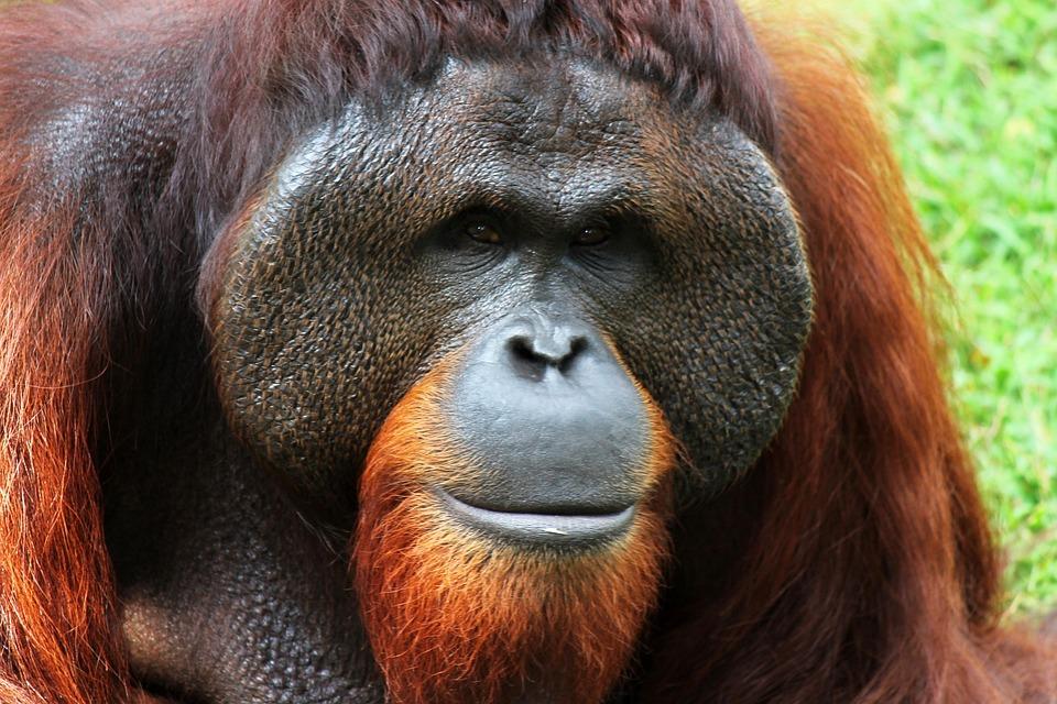 Orangutan, Monkey, Animal, Nature, Ape, Hair, Male
