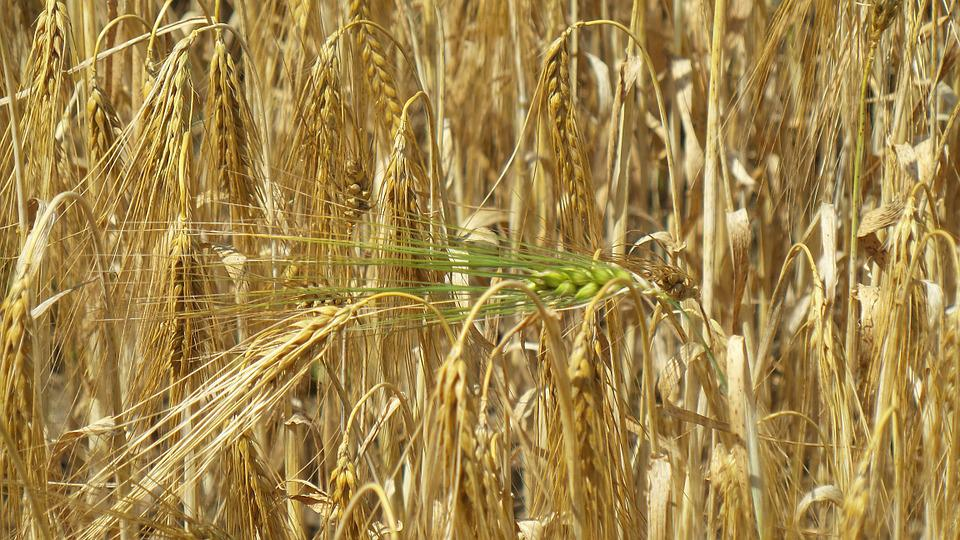 Grain, Ear, Cereals, Field, Nature, Harvest