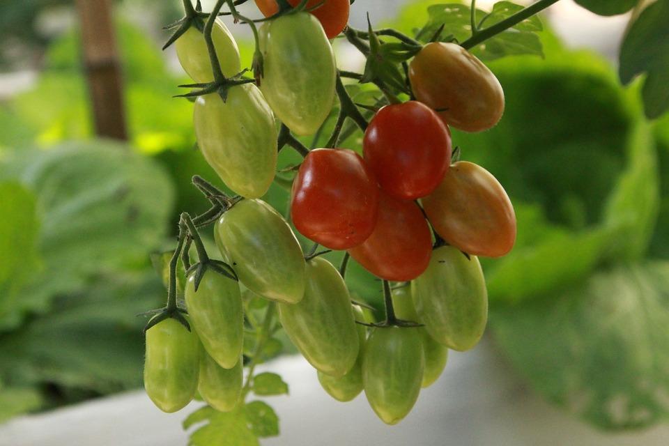 Tomatoes, Vegetable Garden, Garden, Nature, Harvest