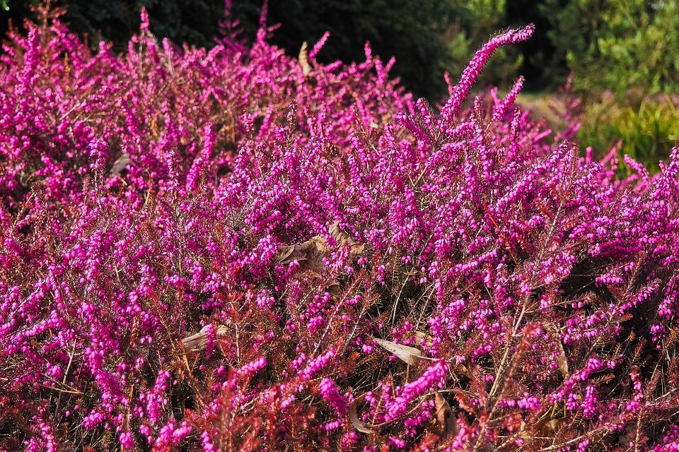 Heather, Heide, Nature, Heathland, Flowers, Landscape