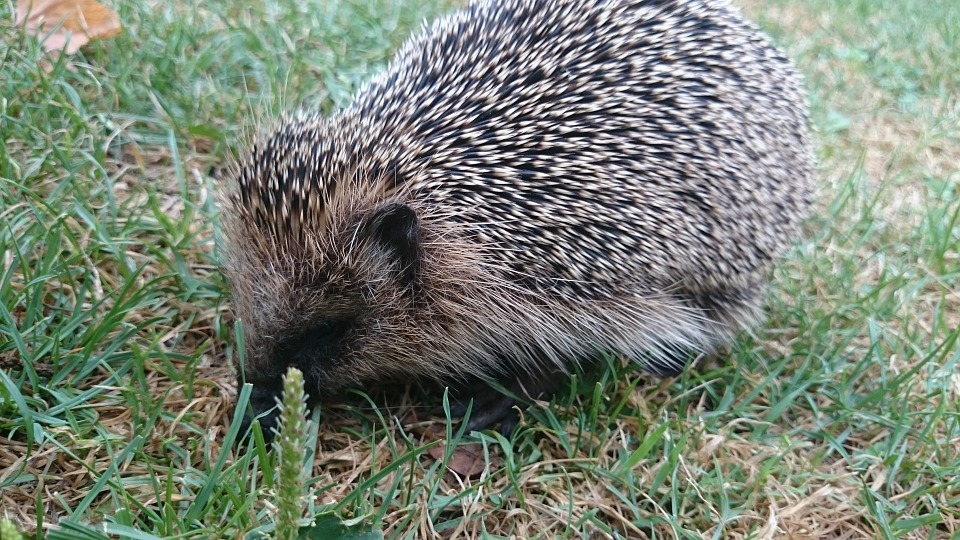 Hedgehog, Nature, Prickly, Animal, Animal World, Autumn