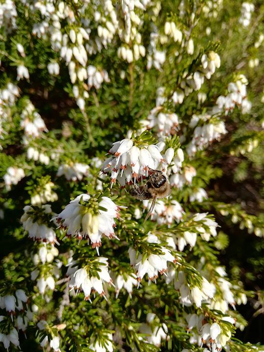 Heide, Bee, Blossom, Bloom, Nature