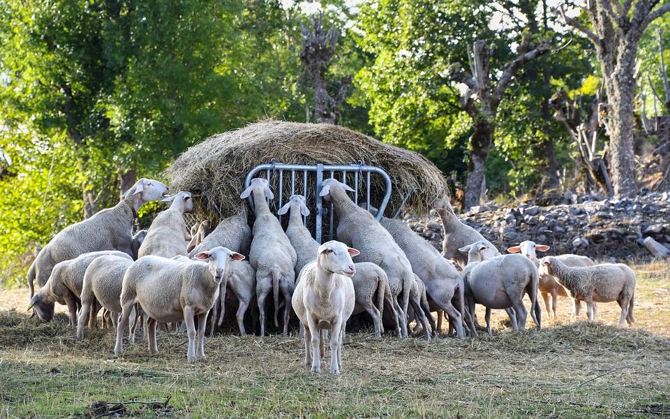 Sheep, Eat, Rural, Animal, Field, Nature, Herd
