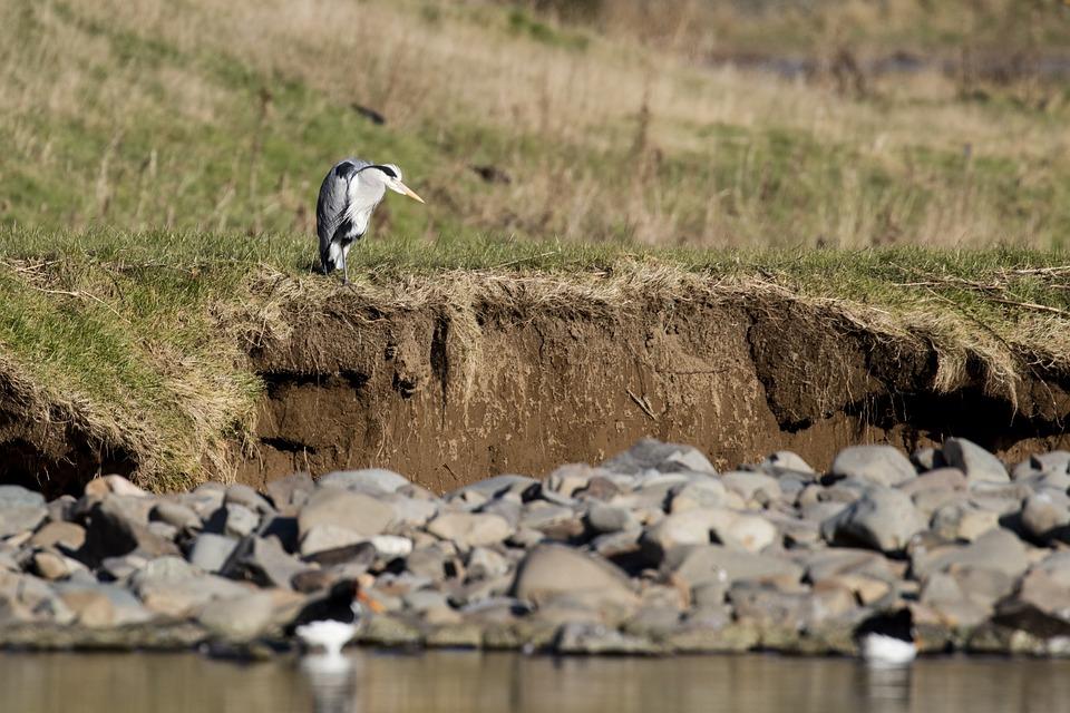 Heron, Fishing, Bird, Wildlife, Nature, Ornithology