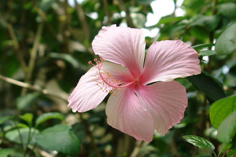 Flower, Hibiscus, Sabdariffa, Nature, Plant, Tropical