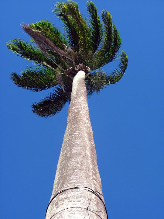 Palm Tree, High, Height, Nature, Tree, Trunk