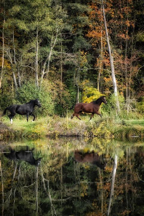Horses, Reflection, Nature