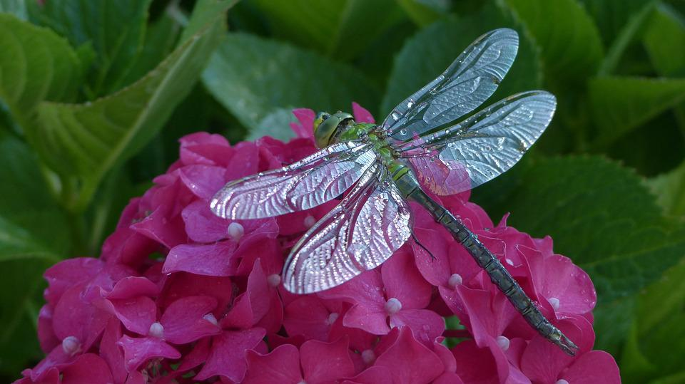 Dragonfly, Hortensia, Animals, Nature, Leaf, Insects