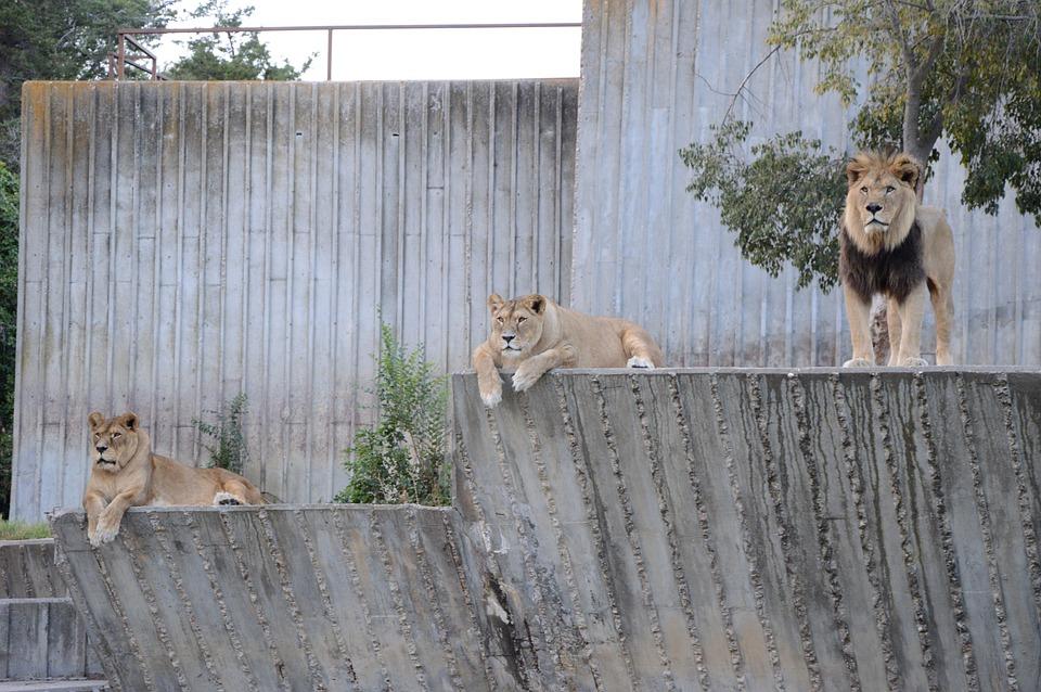 Leoni, Africa, Savannah, Animal, Hot, Nature, Safari