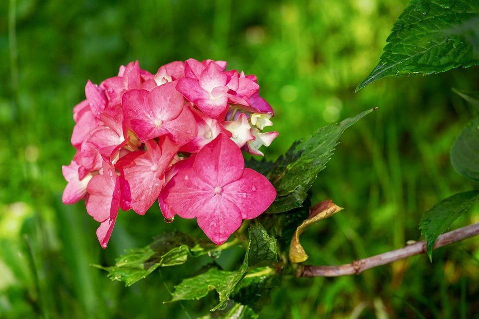 Hydrangea, Flower, Nature, Blossom, Bloom, Pink