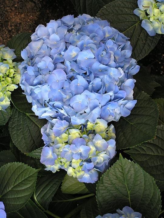 Flower, Plant, Blue, Hydrangea, Blossom, Floral, Nature
