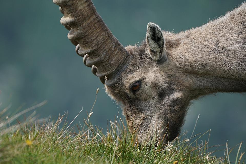 Ibex, Steinbock, Wild, Animals, Animal, Nature, Alps