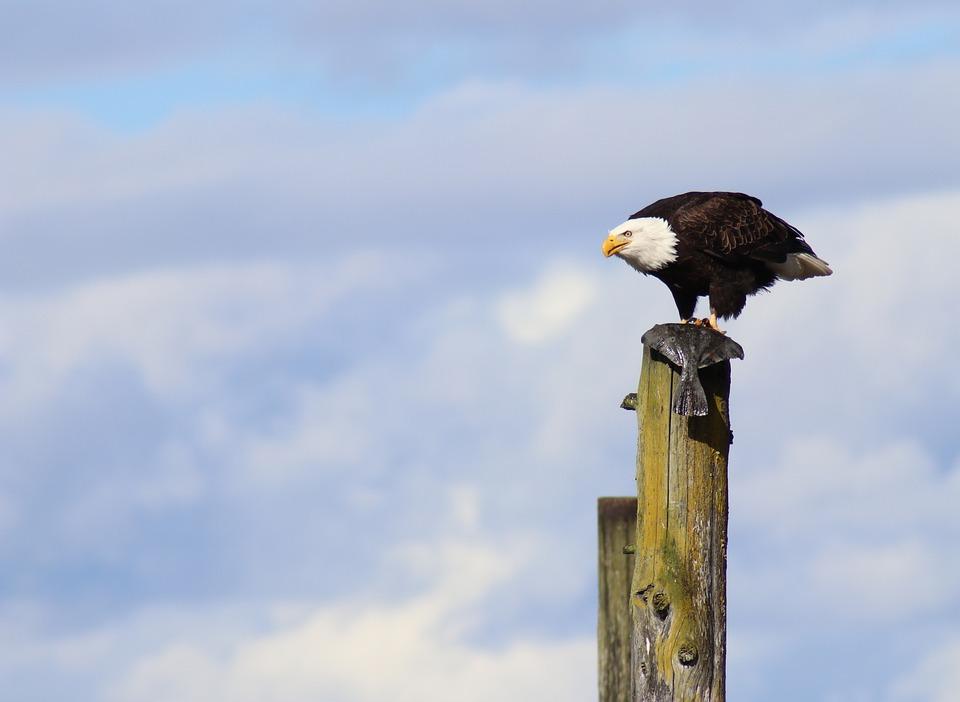 Eagle, Bird, Flounder, Icon, Emblem, Nature, Wildlife