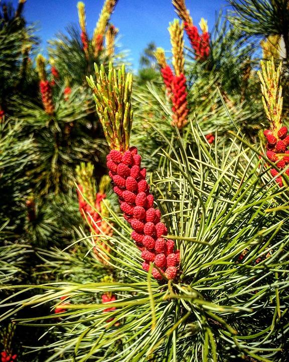 Pine, Inflorescences, Kerkät, Nature, Wood, Plant