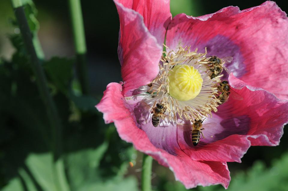 Bees, Poppy, Collect Pollen, Beekeeper, Insect, Nature