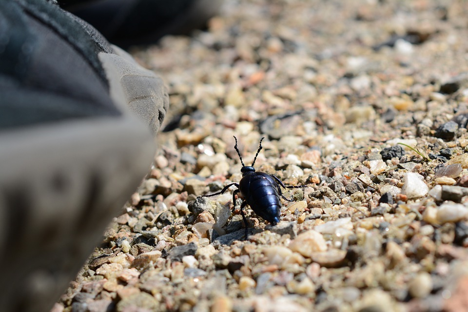 Beetle, Insect, Close, Nature