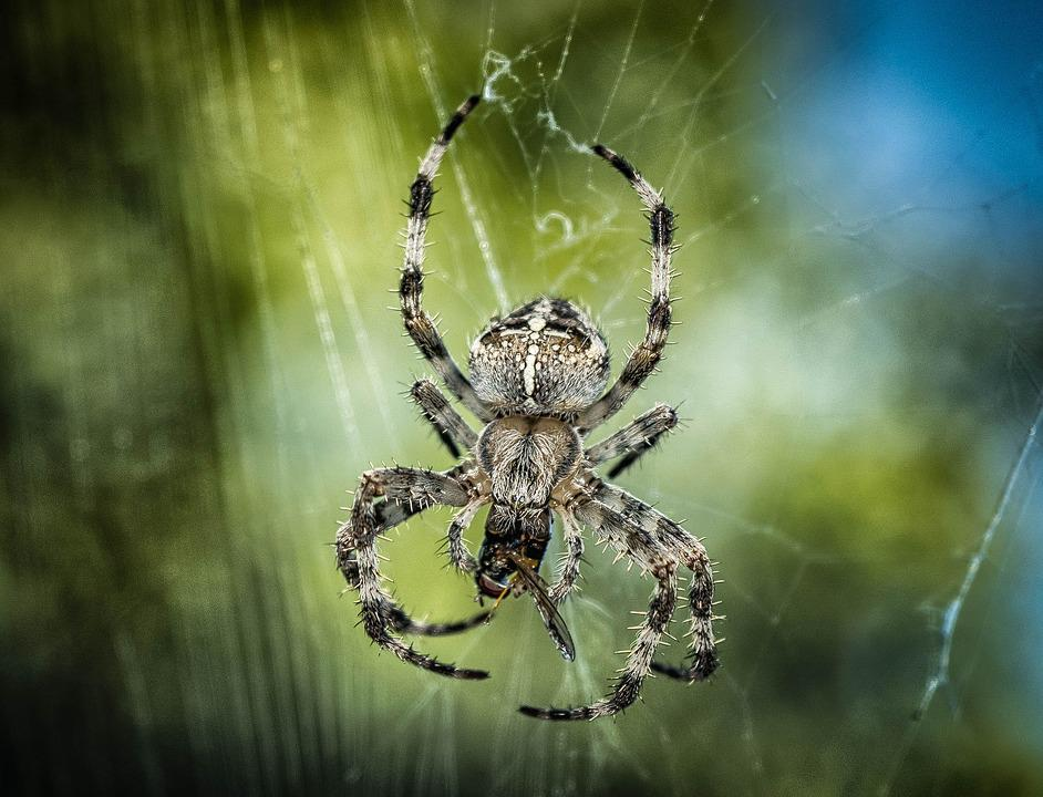 Spider, Araneus, Insect, Web, Close Up, Nature, Animal