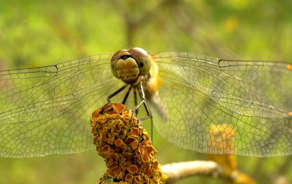 Dragonflies Różnoskrzydłe, Nature, Animals, Insect
