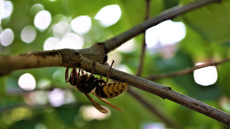 Hornet, Insect, Macro, Animal Portrait, Nature
