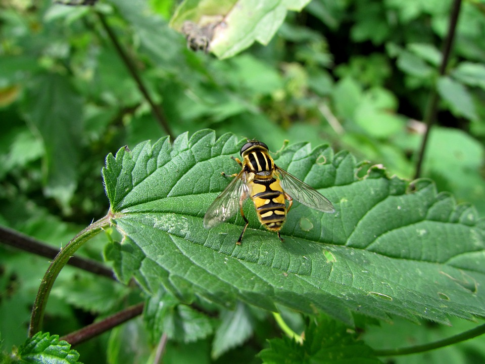 Hoverfly, Forest Campestris, Insect, Animals, Nature