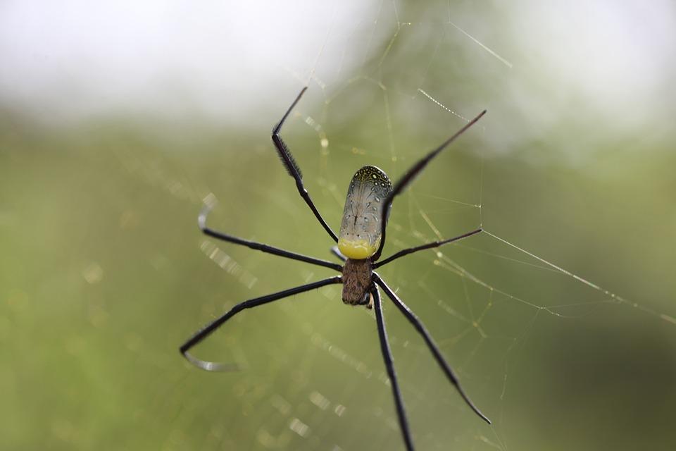 Spider, Insect, Arachnid, Nature, Invertebrate