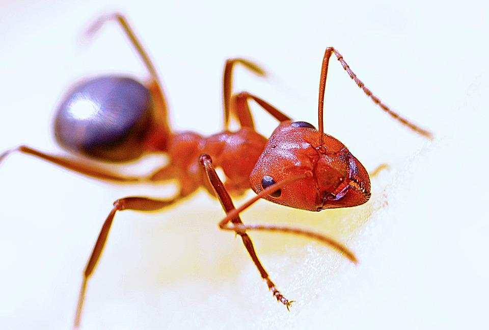 Ant, Macro, Insect, Red, Nature, Antenna, Animal