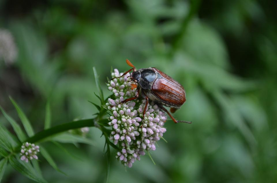 Beetle, Plant, Green, Nature, Insect, Flower, Close