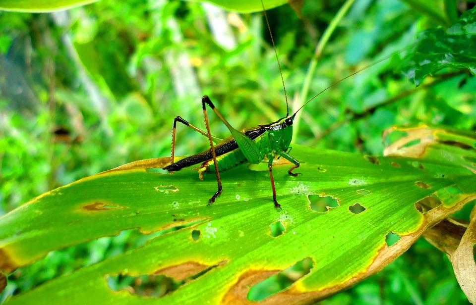 Grasshopers, Leaf, Nature, Insect, Flora, Wildlife