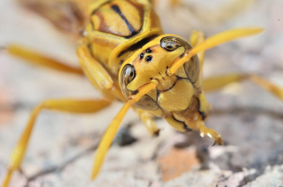Wasp, Sting, Yellow, Insect, Nature, Animal, Dangerous