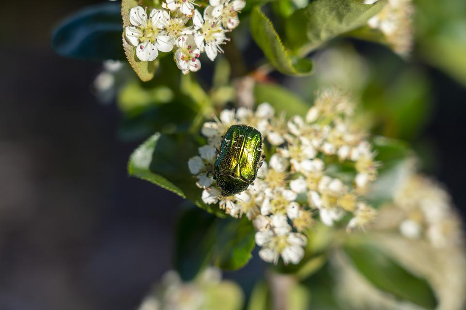 Flower, Flowering, Beetle, Insects, Nature, Spring