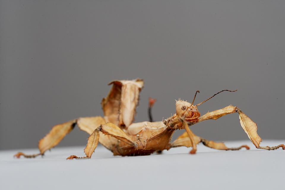 Australian Stick Insect, Insects, Nature, Wildlife