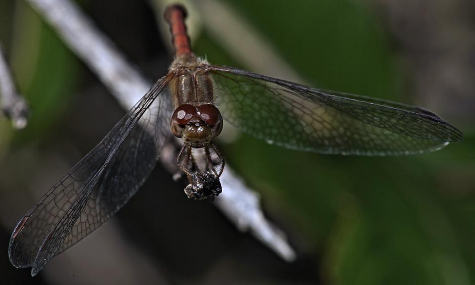 Insect, Dragonfly, Wing, Invertebrate, Nature, Macro