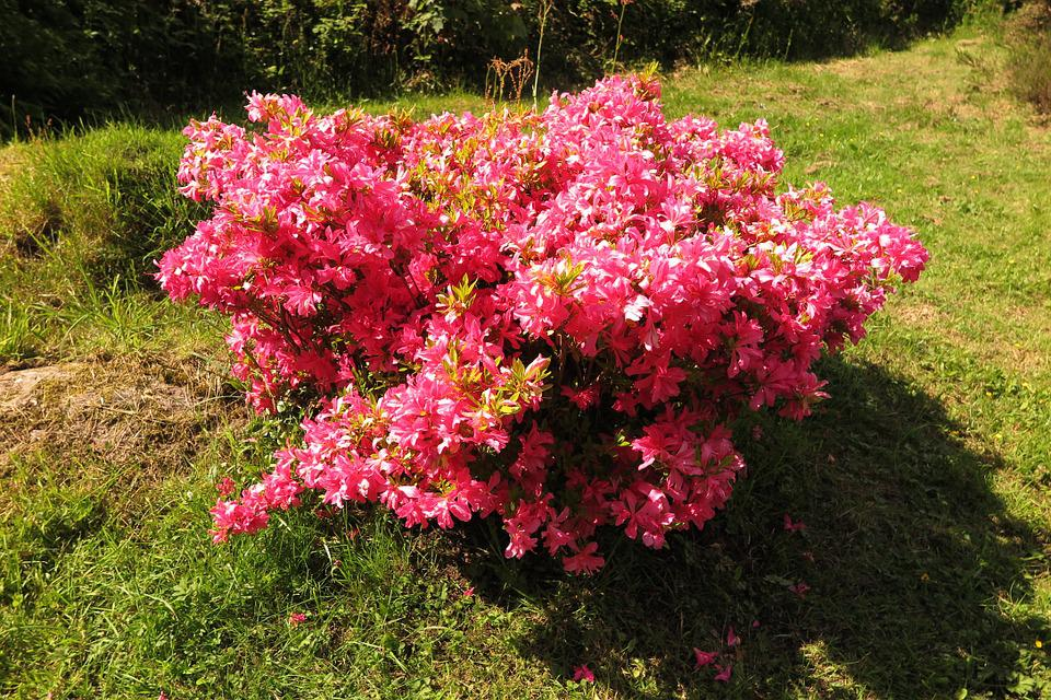 Rhododendron, Pink, Bush, Ireland, Nature, Shrubs