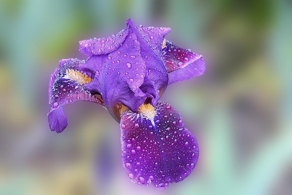 Iris, Blossom, Bloom, Drop Of Water, Nature, Flower