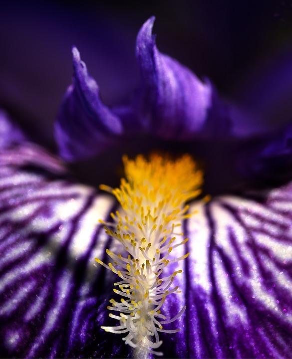Iris, Flower, Spring, Nature, Bloom