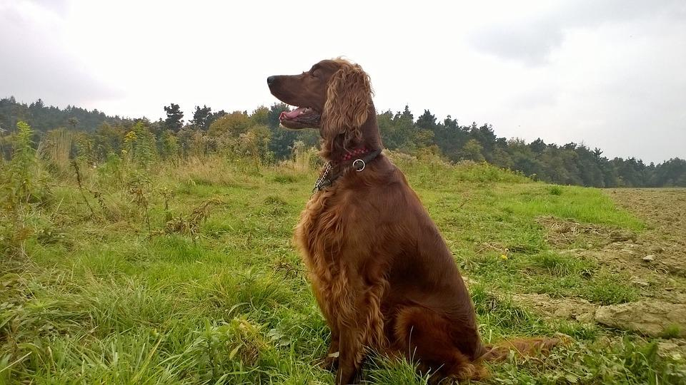 Setter, Dog, Nature, Irish Setter, Animal
