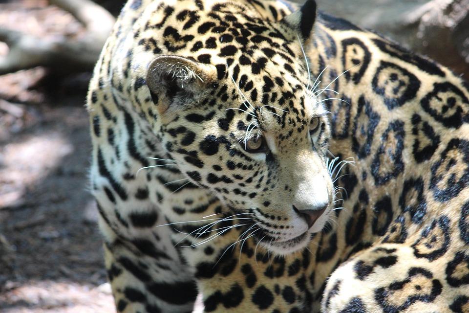 Jaguar, Cat, Animal, Wild, Wildlife, Nature, Mammal
