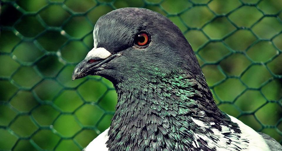 Dove, King, Kennel, Bird, Pen, Spring, Plumage, Nature