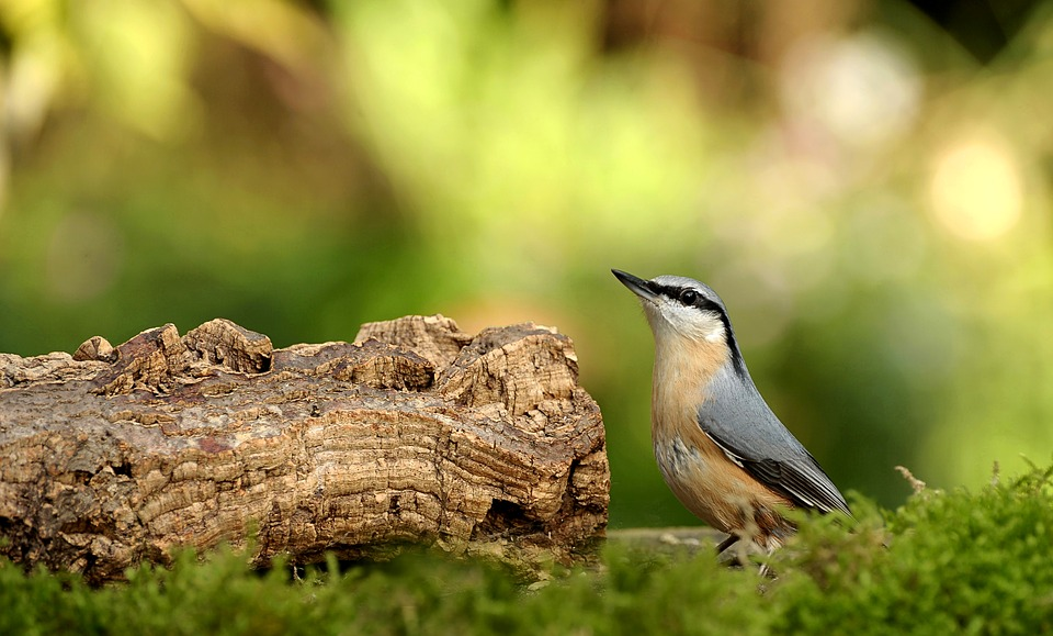 Animal World, Bird, Nature, Kleiber, Garden