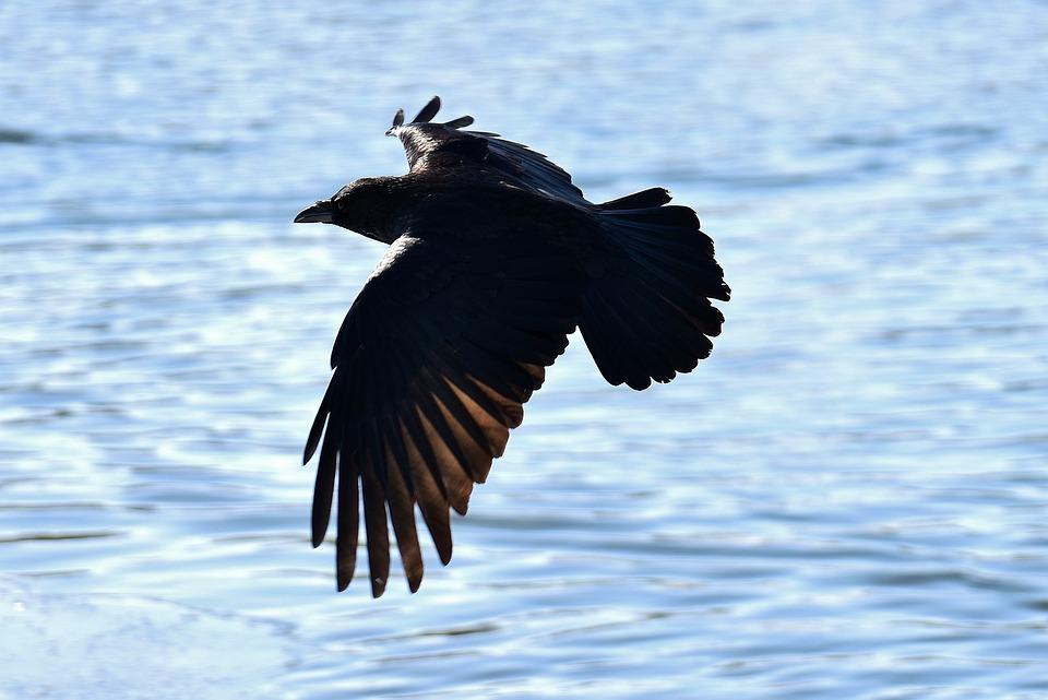 Raven, Fly, Lake, Raven Bird, Crow, Animal, Nature