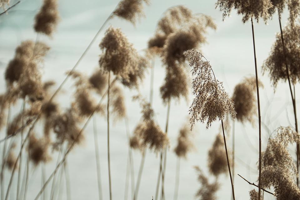 Nature, Plant, Reed, Lake