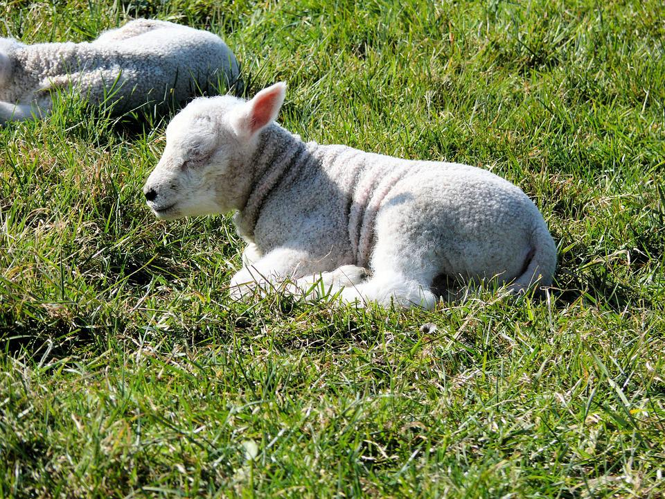 Sheep, Nature, Lamb, Animal, Spring, Lambs, Pasture